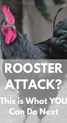 what to do when your rooster attacks