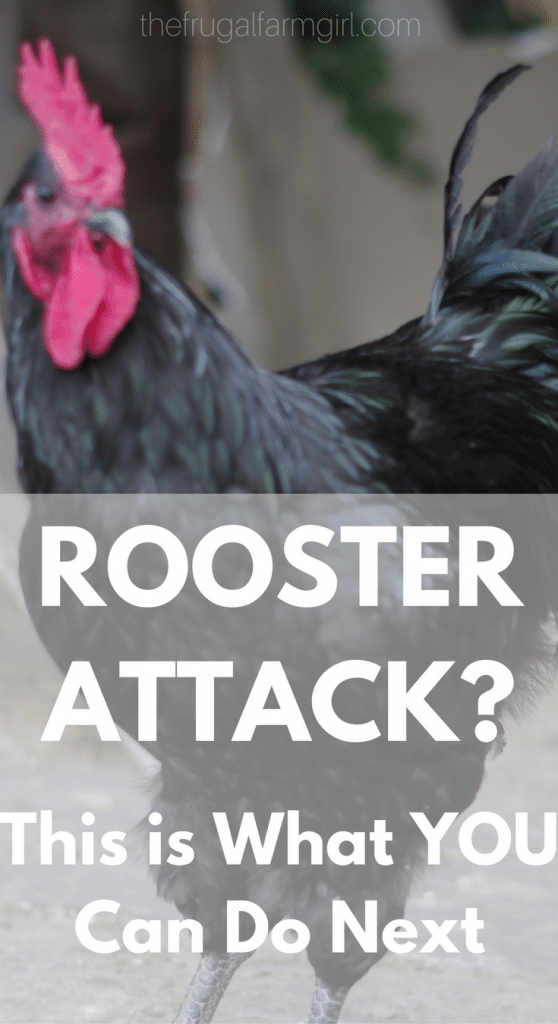 Has your cute little chick turned into an aggressive Rooster? Here is what we did with our Roosters and what you can try too.