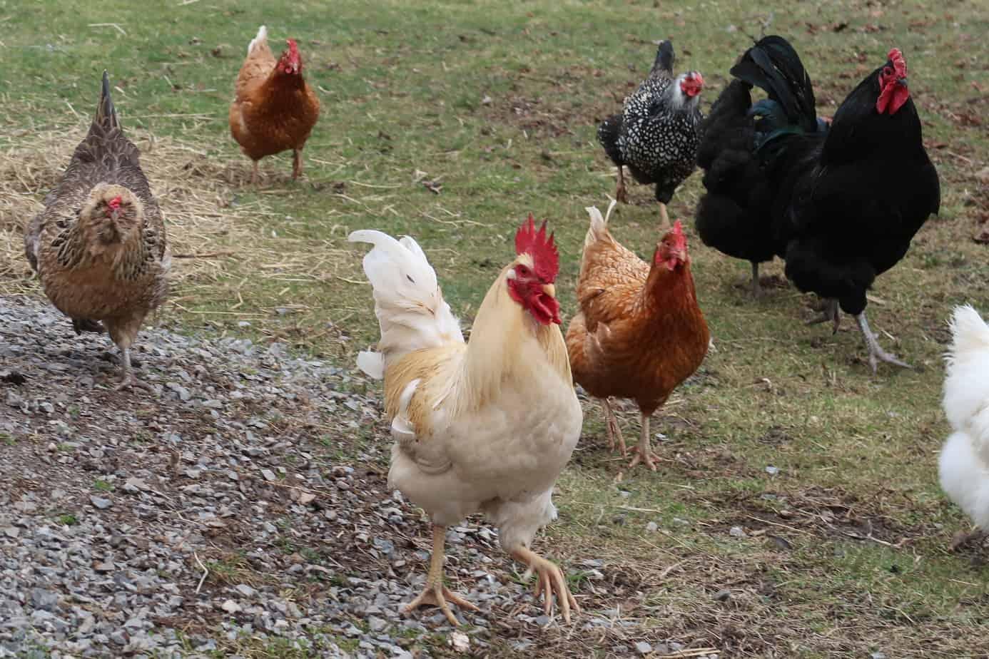 raise chickens