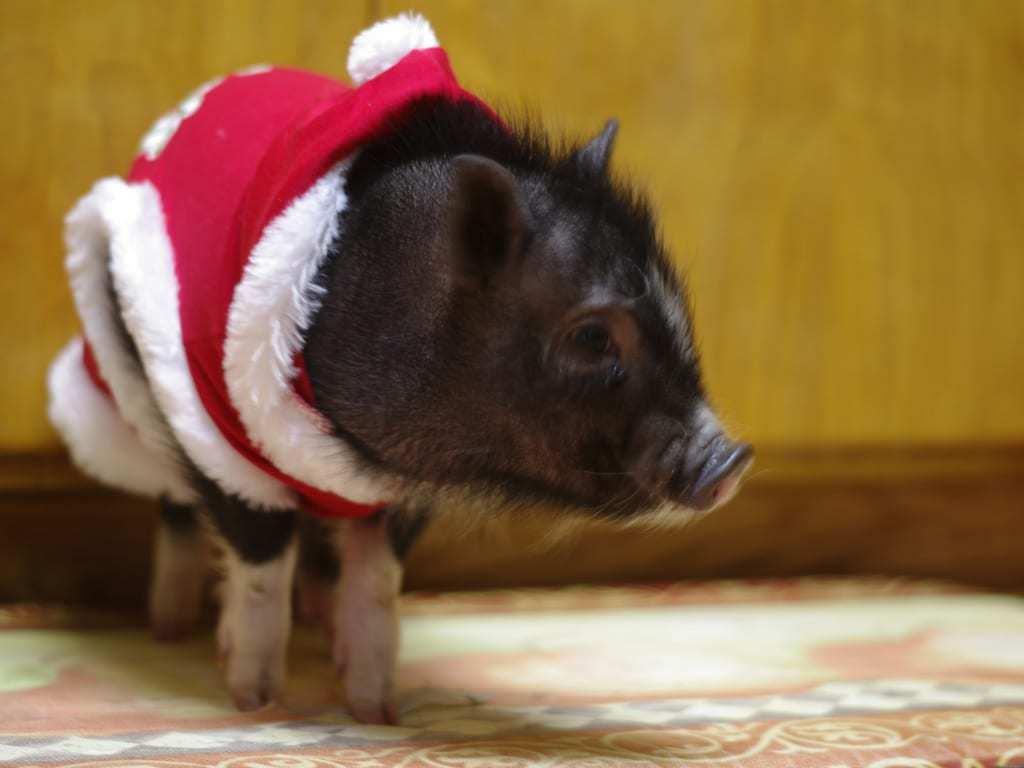 Mini Pig