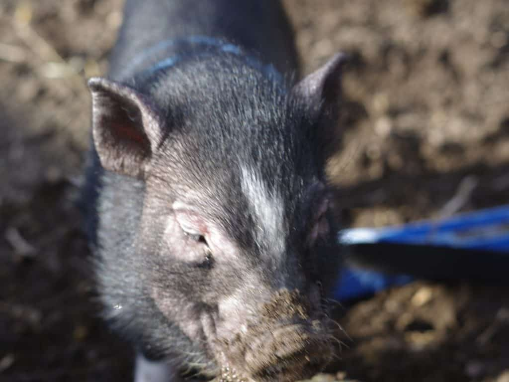 8 Do's and Dont's of a Life With a Baby Mini Pig - The Frugal Farm Girl