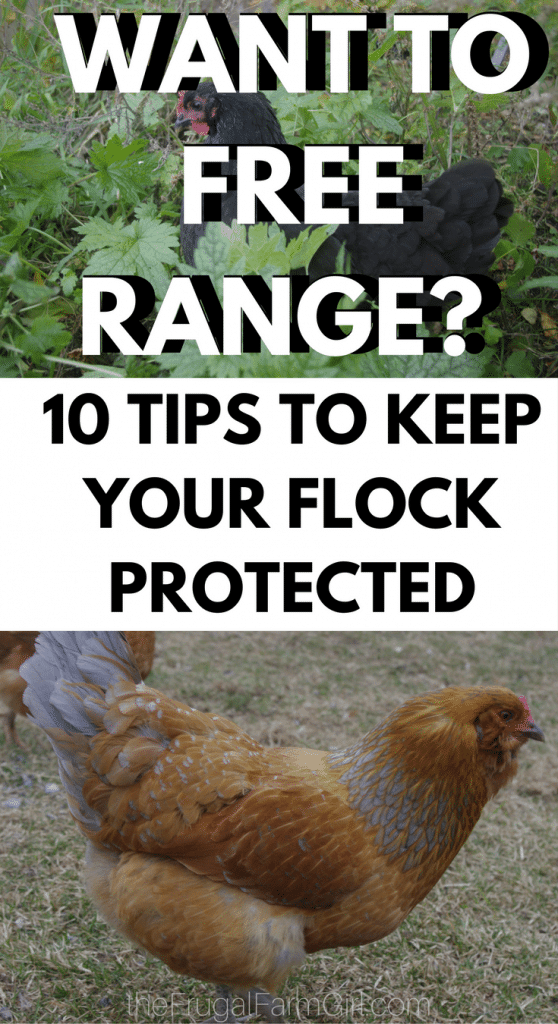 In this article, you will learn why we choose to free range our chickens and 10 Ways to keep your hens protected when you free range.
