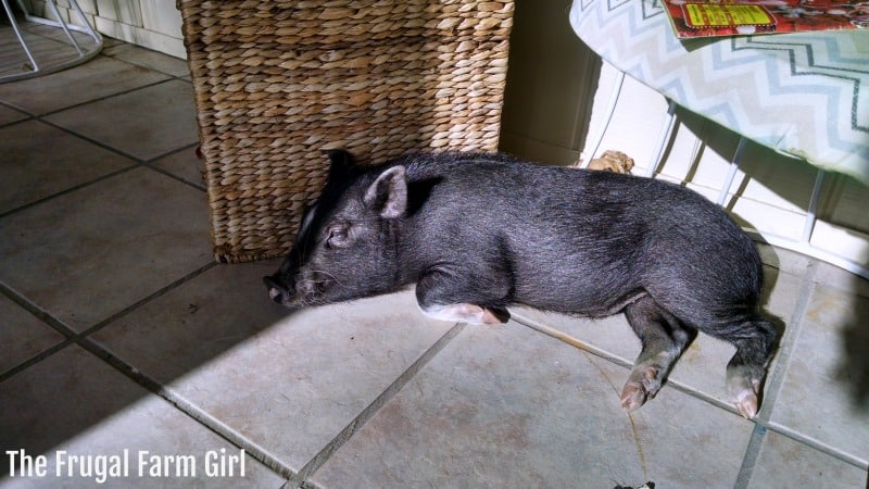 How to Keep a Pig Entertained
