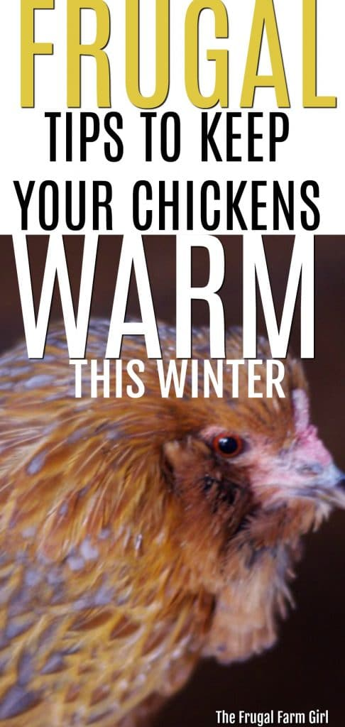 Wondering how you can keep your chickens warm the frugal way? We have had sub-zero temperatures and used the following tips for our chicken flock. #chickens #wamr #frugaltips #frugallife #homesteading #backyardchickens #frugamfarmgirl