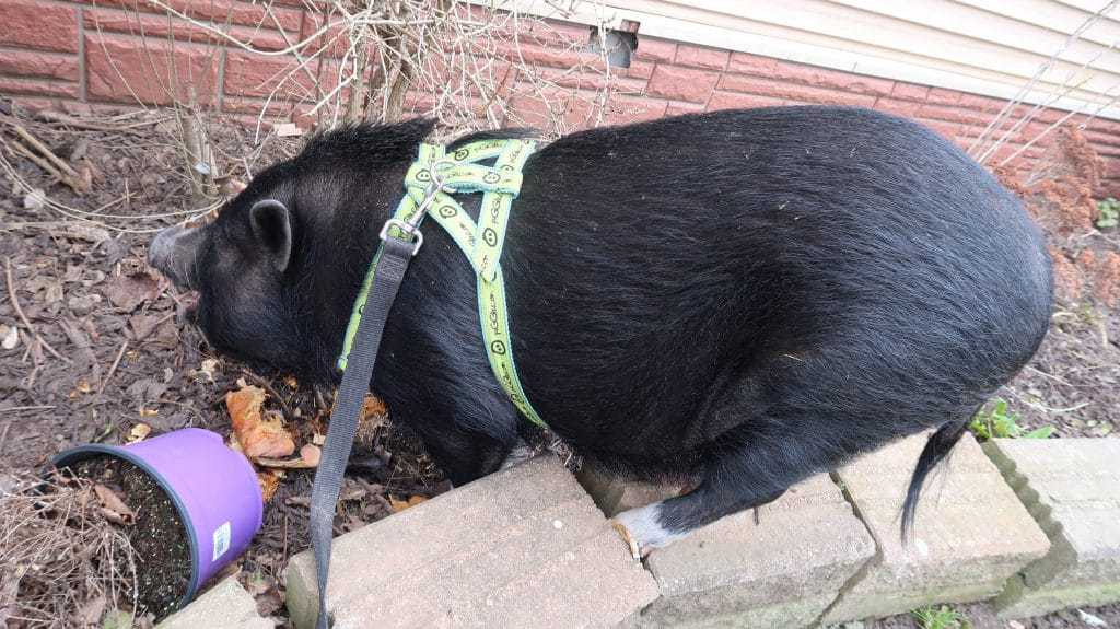 Are you looking for a real-life look at what is it like to walk a mini pig? Can you walk a mini pig on a leash with a dog? Learn the words I use to train my mini pigs to walk on a leash successfully.