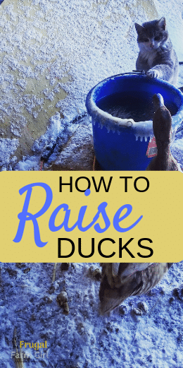 how to raise ducks things you must know