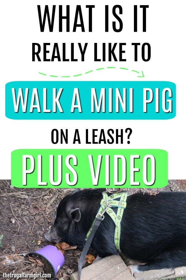 Are you looking for a real-life look at what is it like to walk your mini pig? Can you walk a mini pig on a leash with a dog? Learn the words I use to train my mini pigs to walk on a leash successfully.