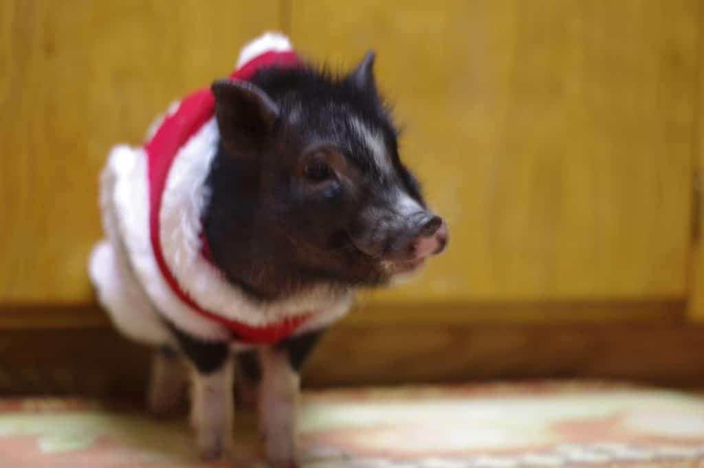 A Checklist of What to Get For a Pet Mini Pig - The Frugal