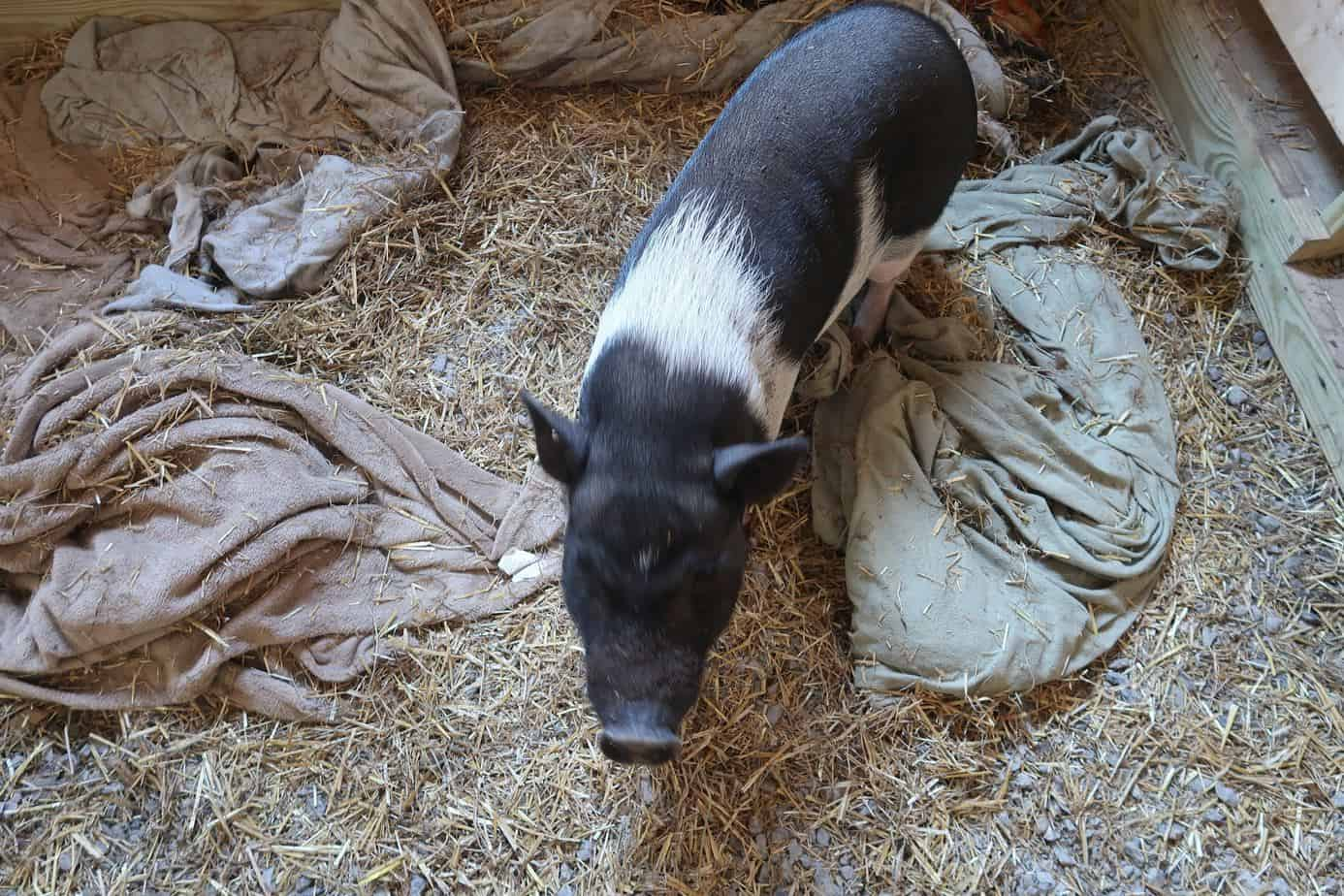 mini-pig-blow-coat-shedding