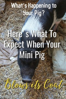 tips-mini-pig-blowing-coat-shed