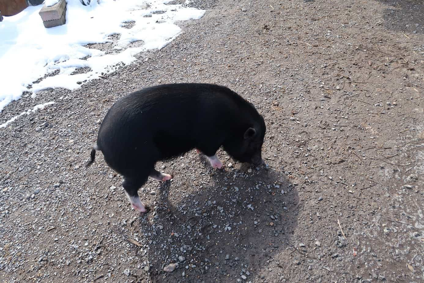 mini-pig-winter-care-tips