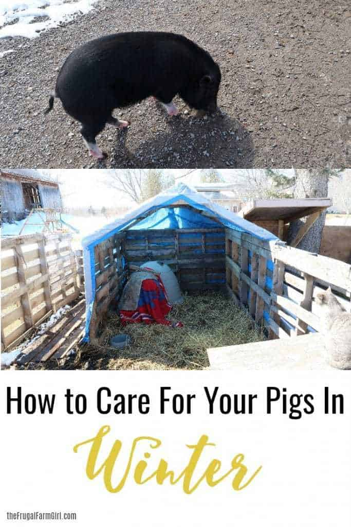 tips-care-for-pigs-winter