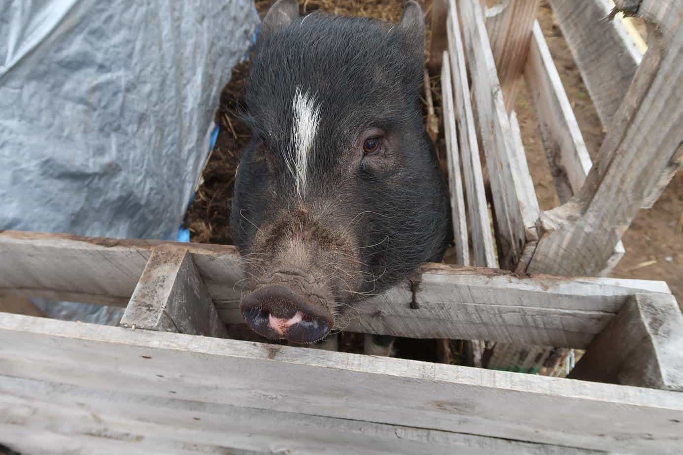 mini pig care winter tips