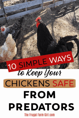 keep chickens safe from predators