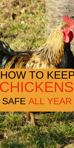 how to keep chickens safe this year