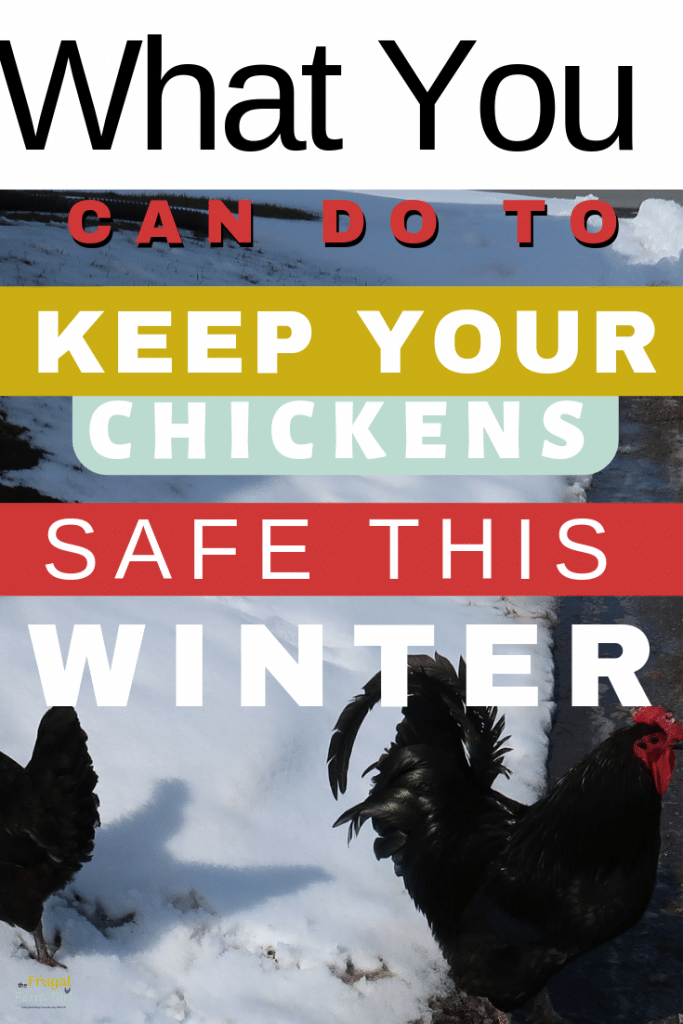 protecting free range chickens from hawks