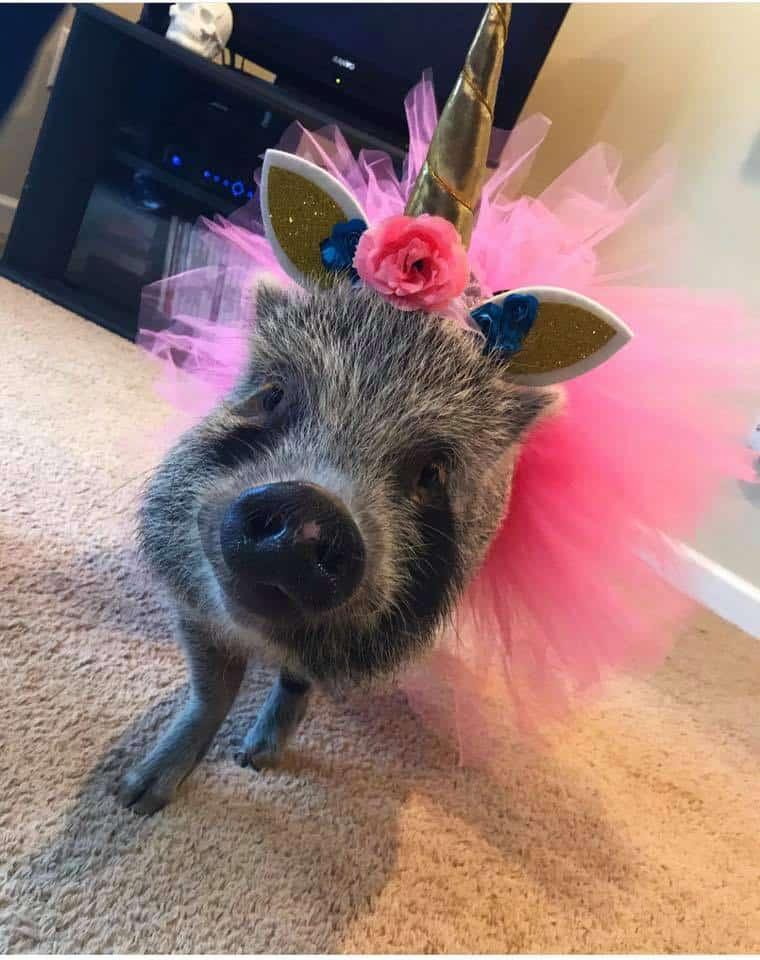mini pig halloween costume idea roundup