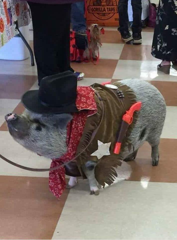 Cutest Mini Pig Halloween Costumes Roundup!