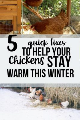 how to keep your chickens warm in winter