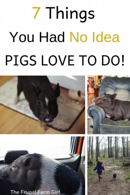 7 Things mini pigs love to do