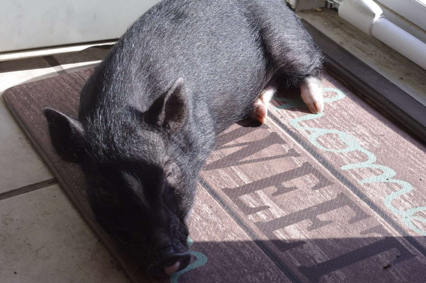 things mini pigs love
