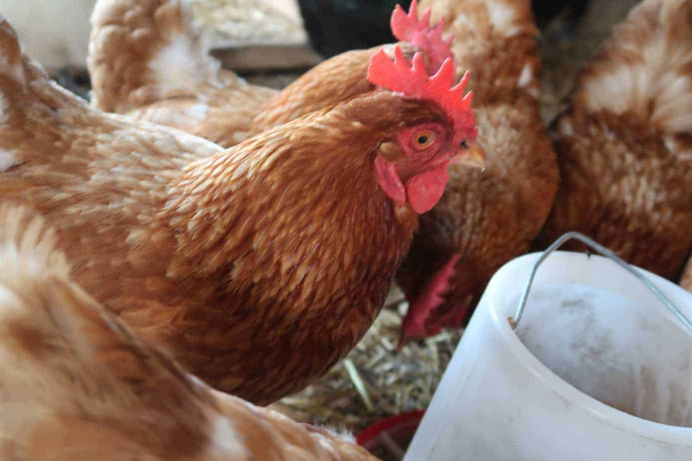 signs to look for when hens stop laying eggs