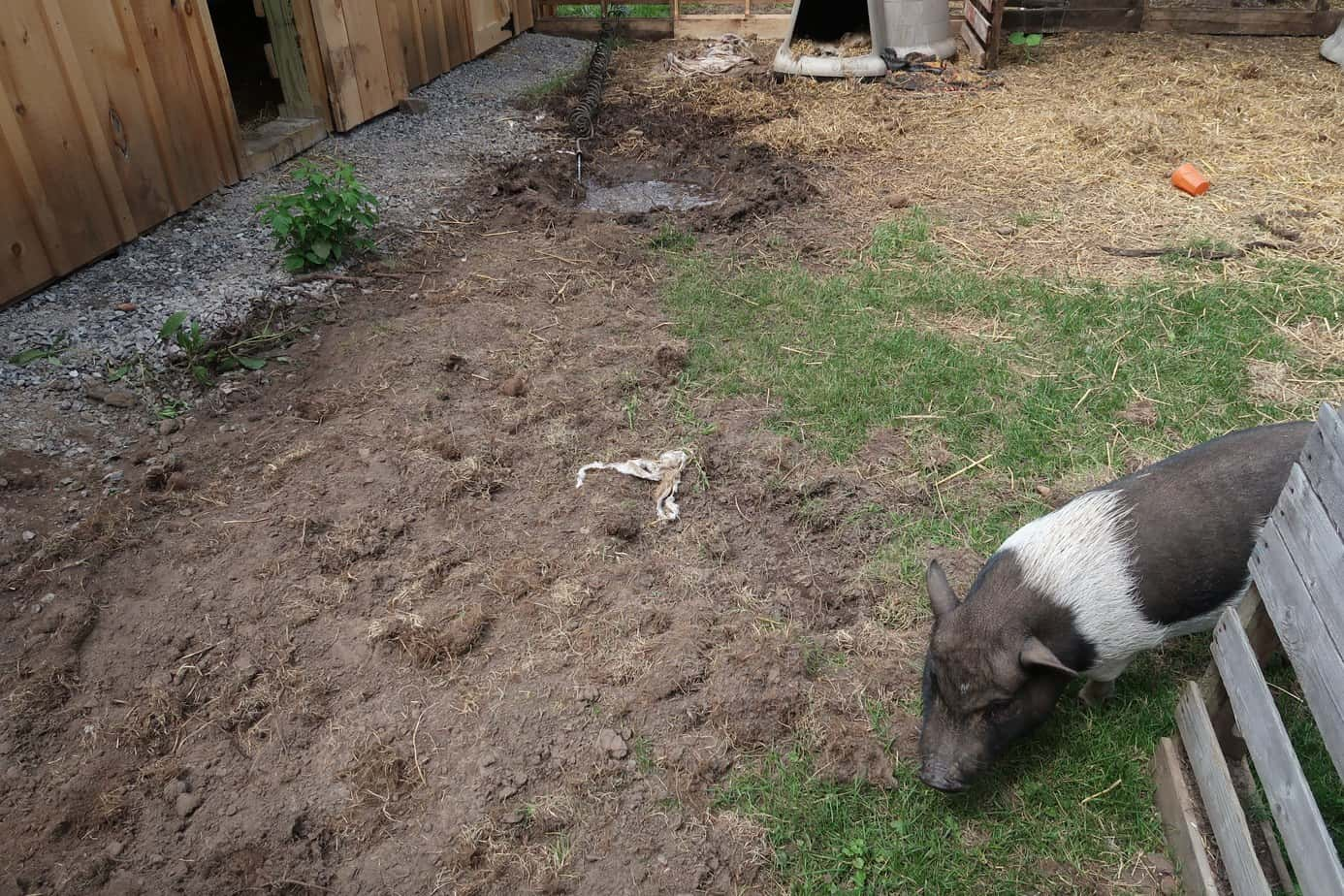 how to transition your mini pig outdoors