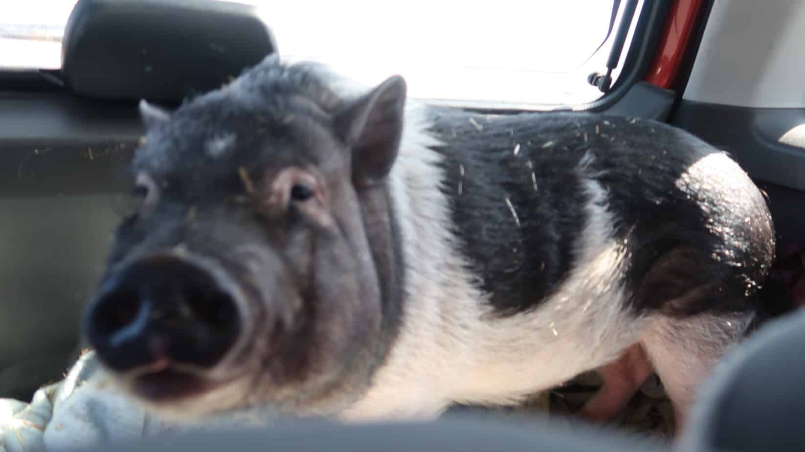 How to Transition Your Pig Outside