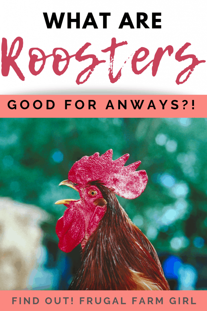 does your hen need a rooster?