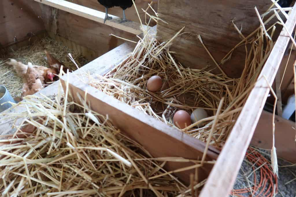 how to keep your eggs clean in the coop