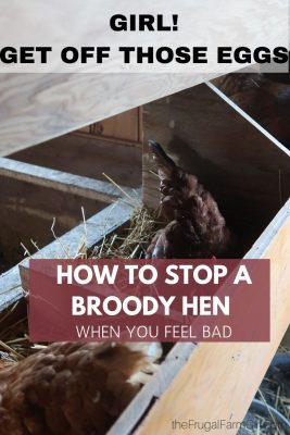 stop a broody hen