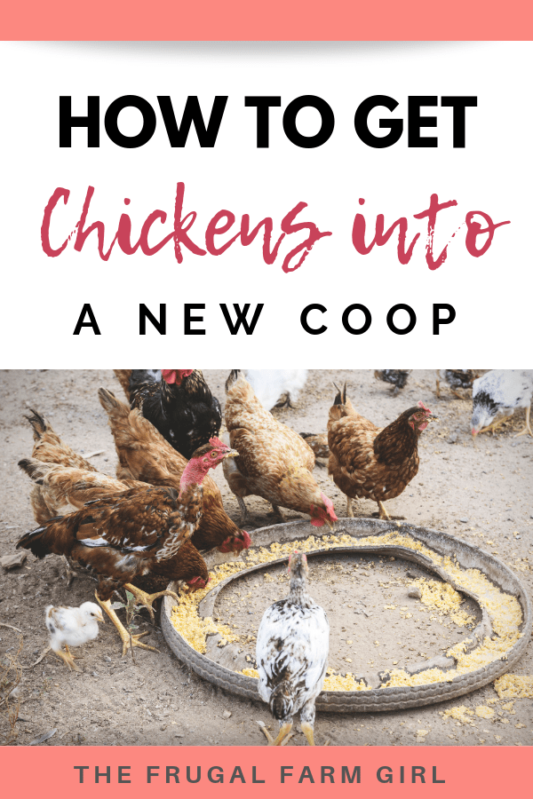 how to get chickens in a new coop