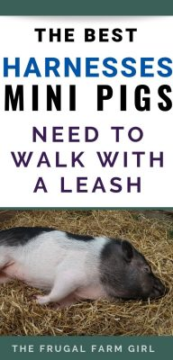 harness mini pig tips