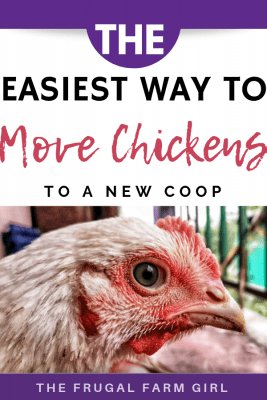 easy way to move chickens to a new coop