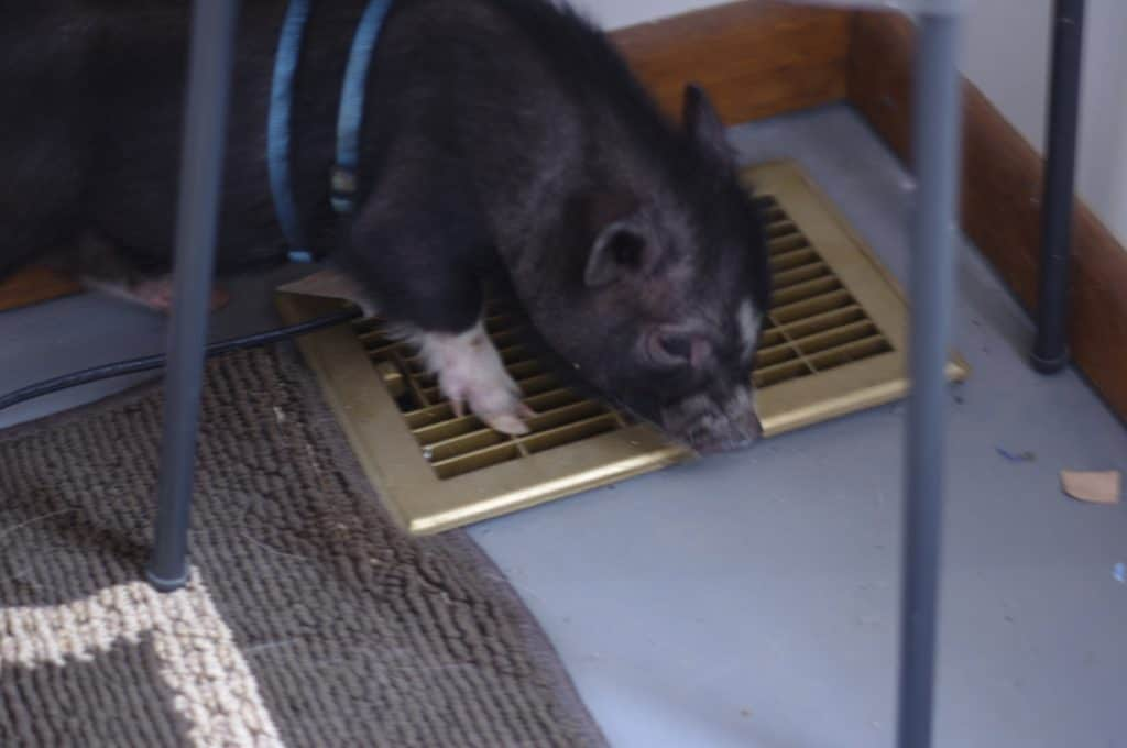 How to Put a Harness on Your Mini Pig