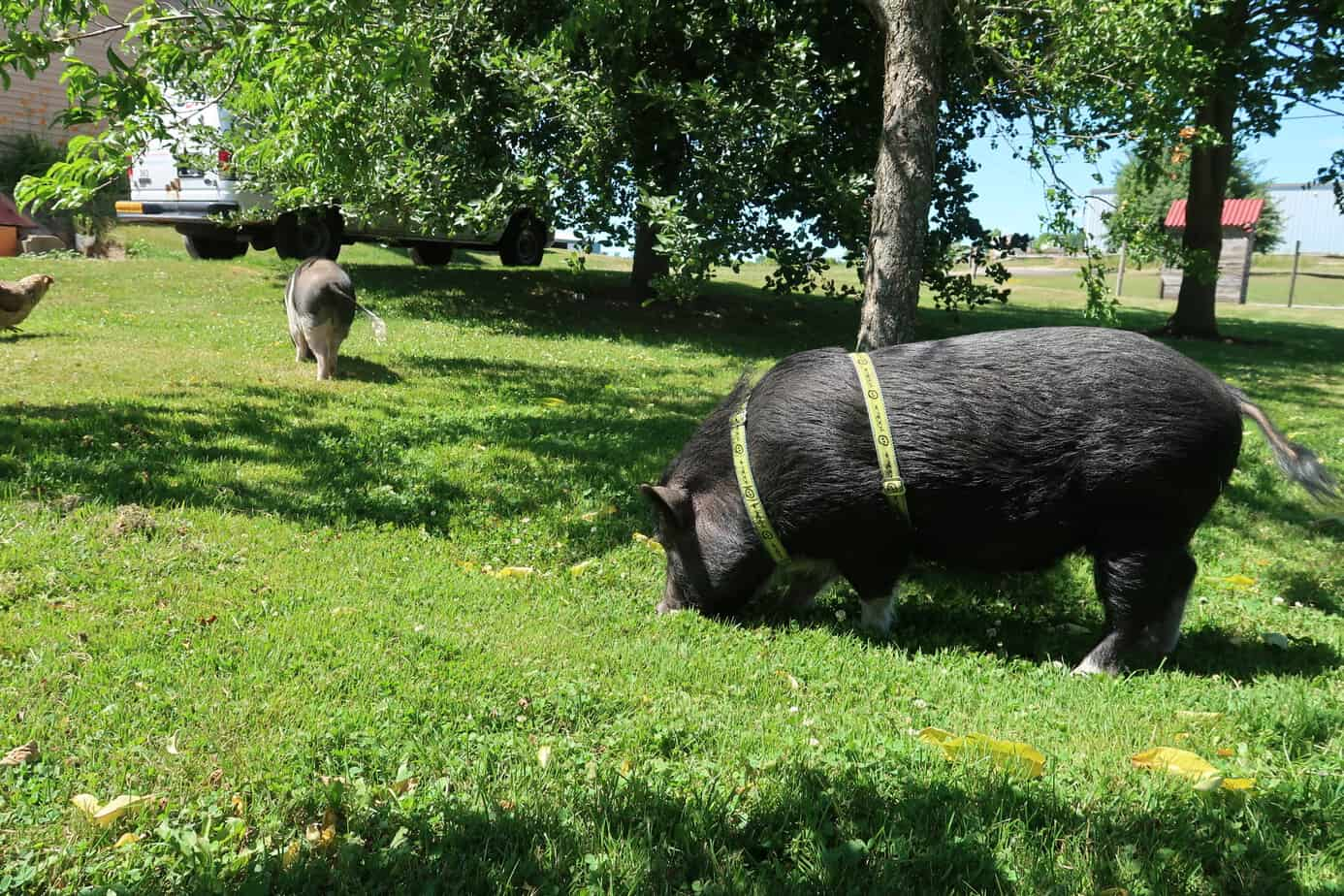 how to harness a mini pig