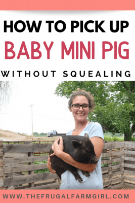 how to pick up baby mini pig