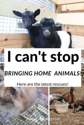 brinigng home rescue farm animals