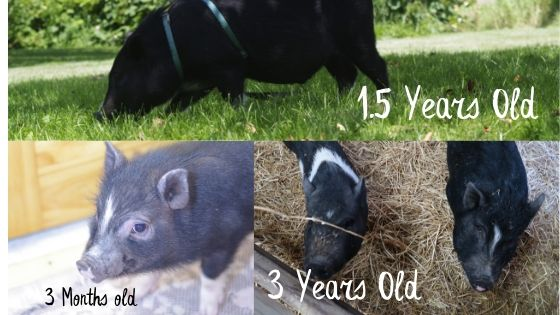 potbelly pig growth over three years. See how much a pig grows from a piglet to full grown.
