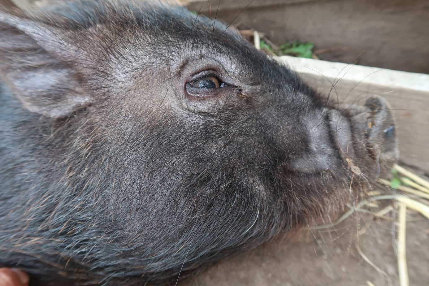 how to harness train your mini pig