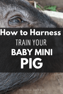 harness train your baby mini pig