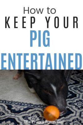 keep pig entertained