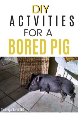 pig entertained ideas