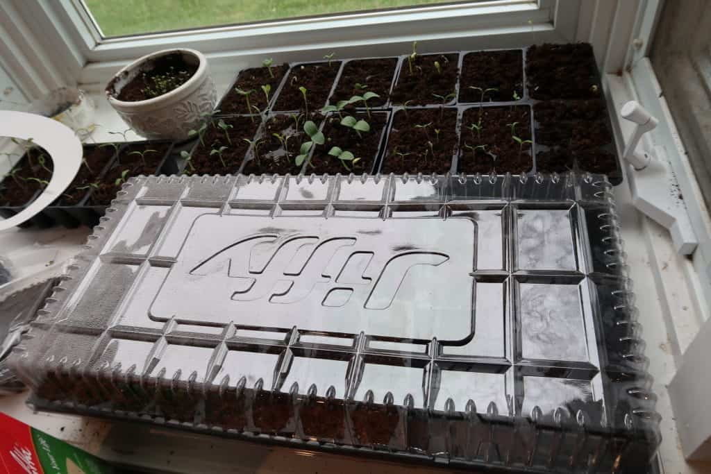 harden off seedlings