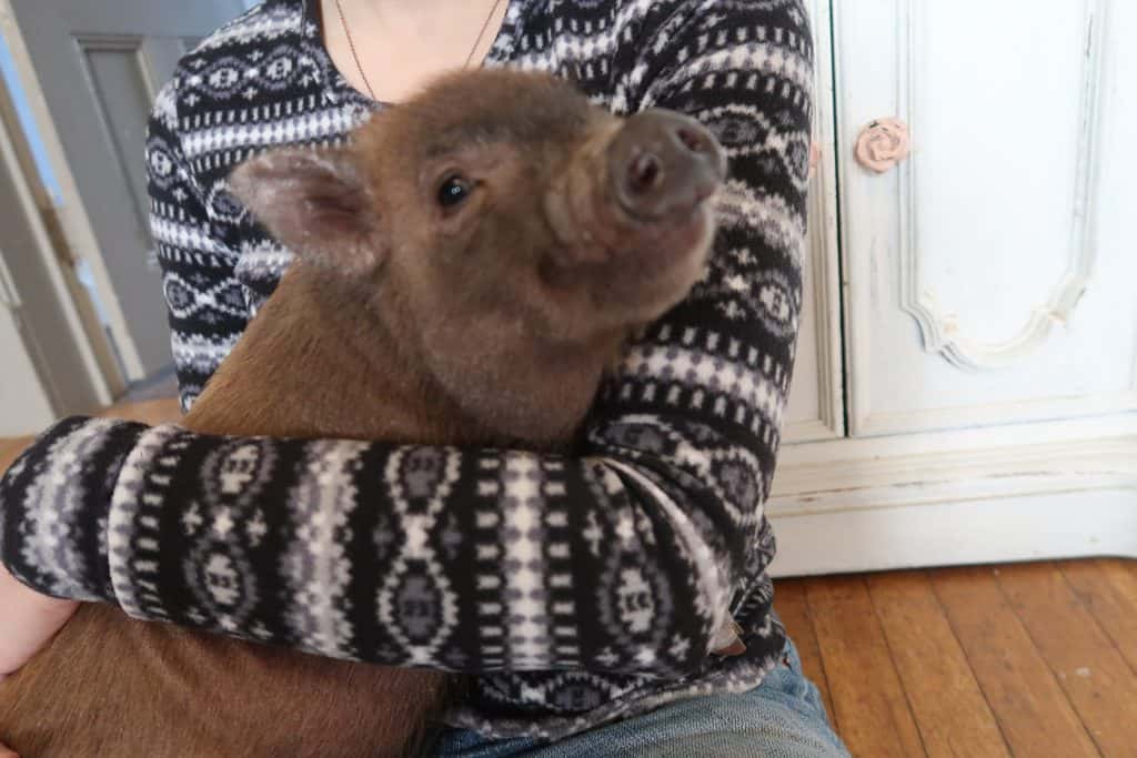 What You Need To Have For a Baby Mini Pig
