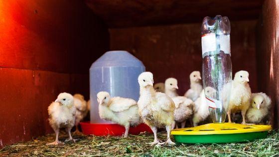 less money raising chickens