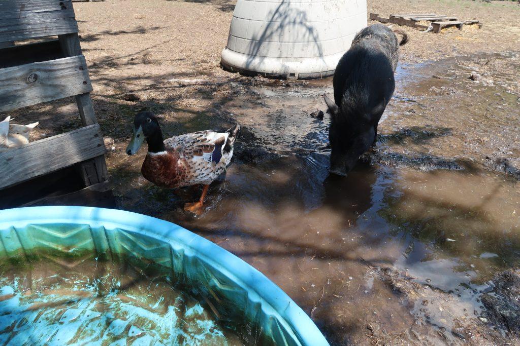 summer mini pigs need
