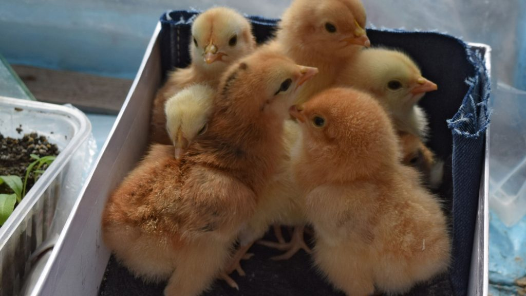 5 Reasons a Small Chicken Coop Is Better For You
