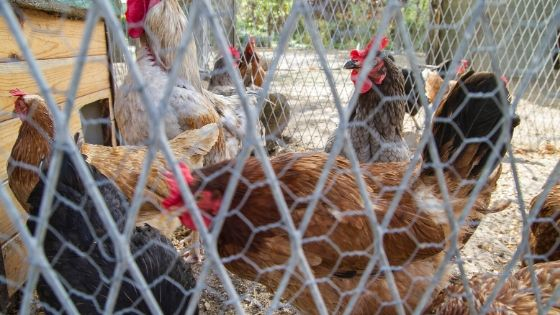 Building Chicken Coops the Easy Way