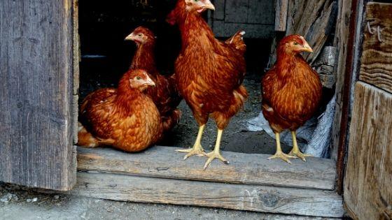 Free Chicken Coop Instructions